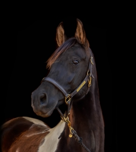 Cash the horse with black background.